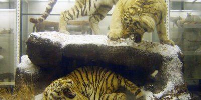 Экспозиция Зоологического музея